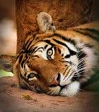醒来的老虎凶手查找 免版税库存图片