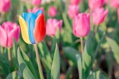 醒目的多色开花的郁金香与许多不同桃红色b 图库摄影