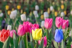 醒目的多色开花的郁金香与许多不同桃红色b 免版税库存照片