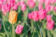 醒目的橙色开花的郁金香与许多不同桃红色绽放 免版税库存照片