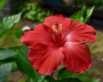 醒目的红色木槿花和绿色叶子 免版税库存照片
