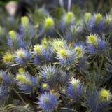 醒目的蓝色刺芹属植物乔斯Eijking -海霍莉 免版税库存照片