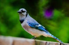 醒目的蓝色尖嘴鸟 库存图片