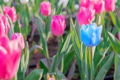 醒目的蓝色开花的郁金香与许多不同桃红色bloomin 库存图片