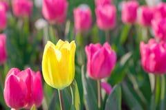 醒目的黄色开花的郁金香与许多不同桃红色绽放 免版税库存照片