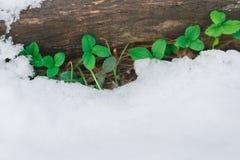 采伐与雪和第一片绿色叶子的覆盖物 库存图片