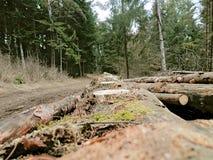 采伐和大树说谎 库存照片