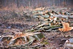 采伐的树在森林里 免版税库存照片