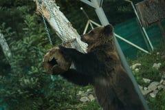 采取从喂食器的大男性熊食物 免版税库存图片