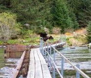 采取从栏杆的一只幼小老鹰飞行在一sancturary在阿拉斯加 免版税库存图片