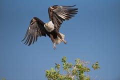 采取从树的鱼鹰飞行 免版税库存图片