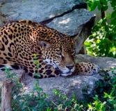 采取从热的热带太阳的捷豹汽车树荫在墨西哥 免版税库存图片