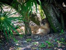 采取从热的热带太阳的豹树荫在墨西哥 免版税库存照片