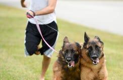 采取他们的奔跑的两条德国牧羊犬狗所有者 免版税库存图片