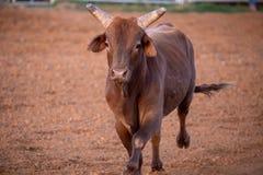 采取他的胜利的把握的公牛在竞技场附近 免版税库存图片