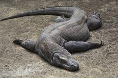 采取休息印度尼西亚野生生物,印度尼西亚的科莫多巨蜥或显示器 库存图片