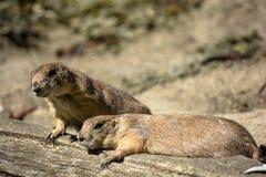 采取休息的两只被用尽的草原土拨鼠 免版税库存图片