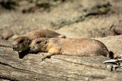 采取休息的两只被用尽的草原土拨鼠 库存图片