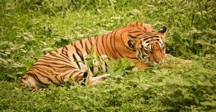 采取休息的孟加拉老虎在草土地在下午期间 免版税图库摄影