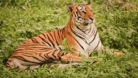 采取休息的孟加拉老虎在草土地在下午期间 库存照片