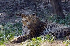 采取休息的捷豹汽车/豹子在动物园里 库存图片