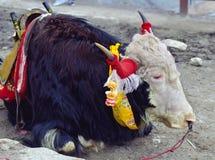 采取休息的牦牛 免版税库存图片