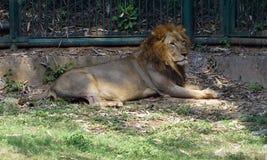 采取休息的狮子在动物园里 免版税库存图片