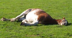 采取休息的马 免版税库存照片