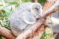 采取休息睡觉的可爱的树袋熊 免版税库存图片