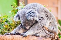 采取休息睡觉的可爱的树袋熊 库存照片