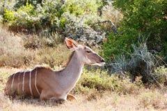 采取休息-更加伟大的Kudu -非洲羚羊类弯角羚类 库存图片