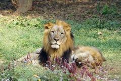 采取假寐,当其他凝视照相机时的狮子 免版税库存图片