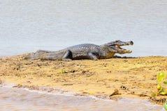 采取在一个沙丘的鳄鱼一sunbath在riv的边际 免版税库存图片