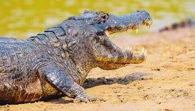 采取在一个沙丘的鳄鱼一sunbath在riv的边际 免版税库存照片