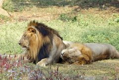 采取在中午的两狮子休息 免版税图库摄影