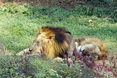 采取在中午的两狮子休息 图库摄影