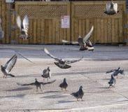 采取在停车场的鸽子飞行 免版税库存照片