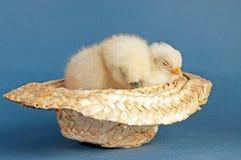 采取在牛仔帽的二只婴孩小鸡休息 库存照片
