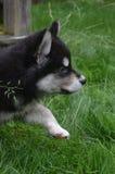 采取在草的Alusky小狗一个谨慎步骤 免版税库存照片