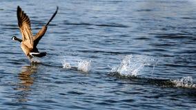 采取在水的加拿大鹅飞行 免版税库存图片