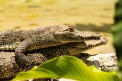 采取太阳和休息的两条美丽的鳄鱼 免版税库存照片