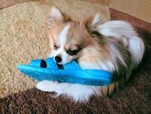 采取女用披肩蓝色拖鞋的淘气德国波美丝毛狗 免版税库存照片