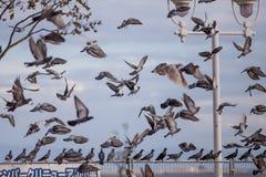 采取对下午天空的鸽子群  库存图片