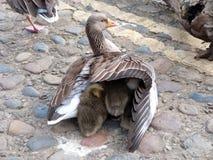 采取小鸡的母鹅在她的翼下 免版税库存图片
