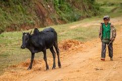 采取步行的封牛 库存照片