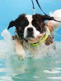 采取游泳的圣伯纳德狗 图库摄影
