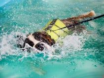 采取游泳的圣伯纳德狗 免版税图库摄影