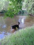 采取游泳的我的puppers 库存照片