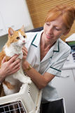 采取猫的狩医在考试的载体外面 库存图片