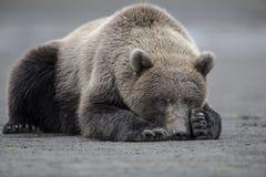 采取电源休息的北美灰熊 免版税库存图片